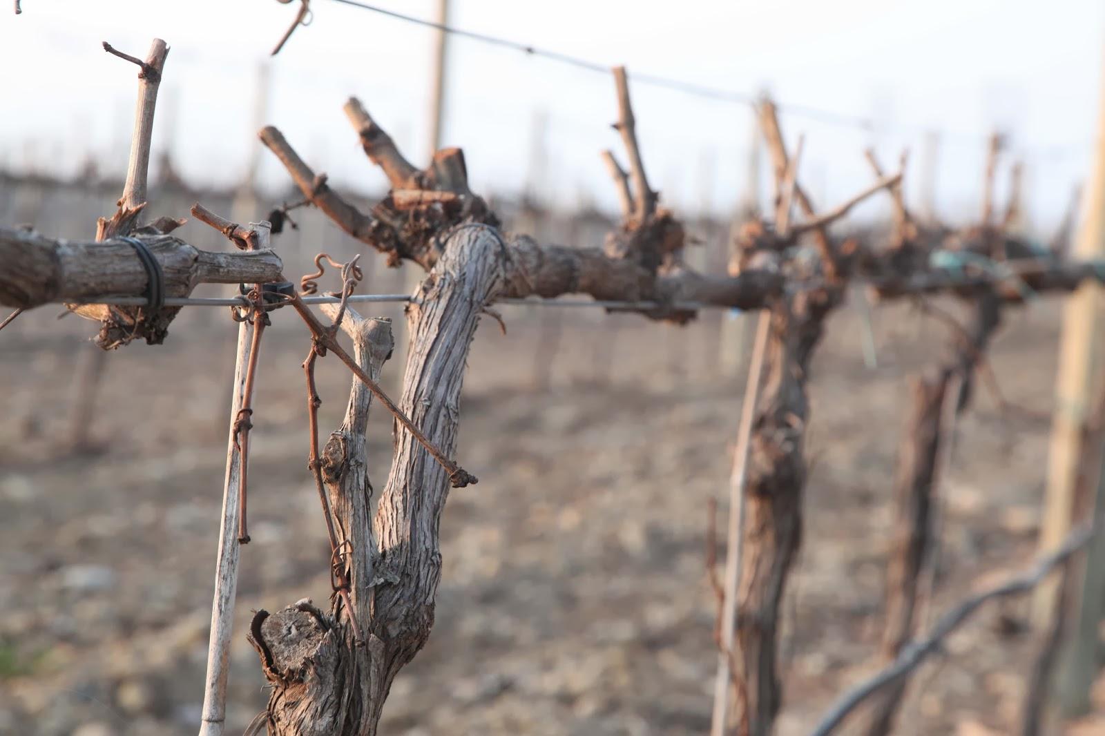 poda del viña en invierno