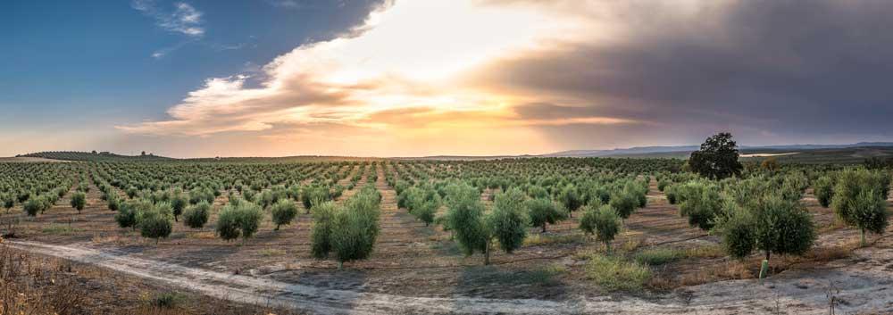 Olivar andaluz