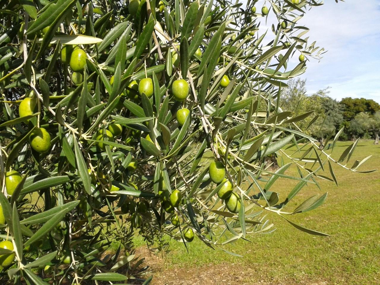 Tratamiento enfermedades olivo