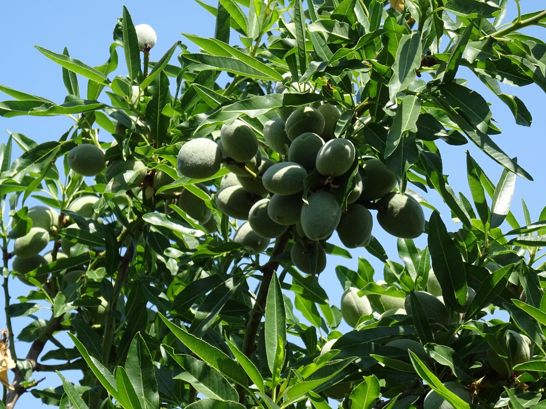 Cultivo del Almendro