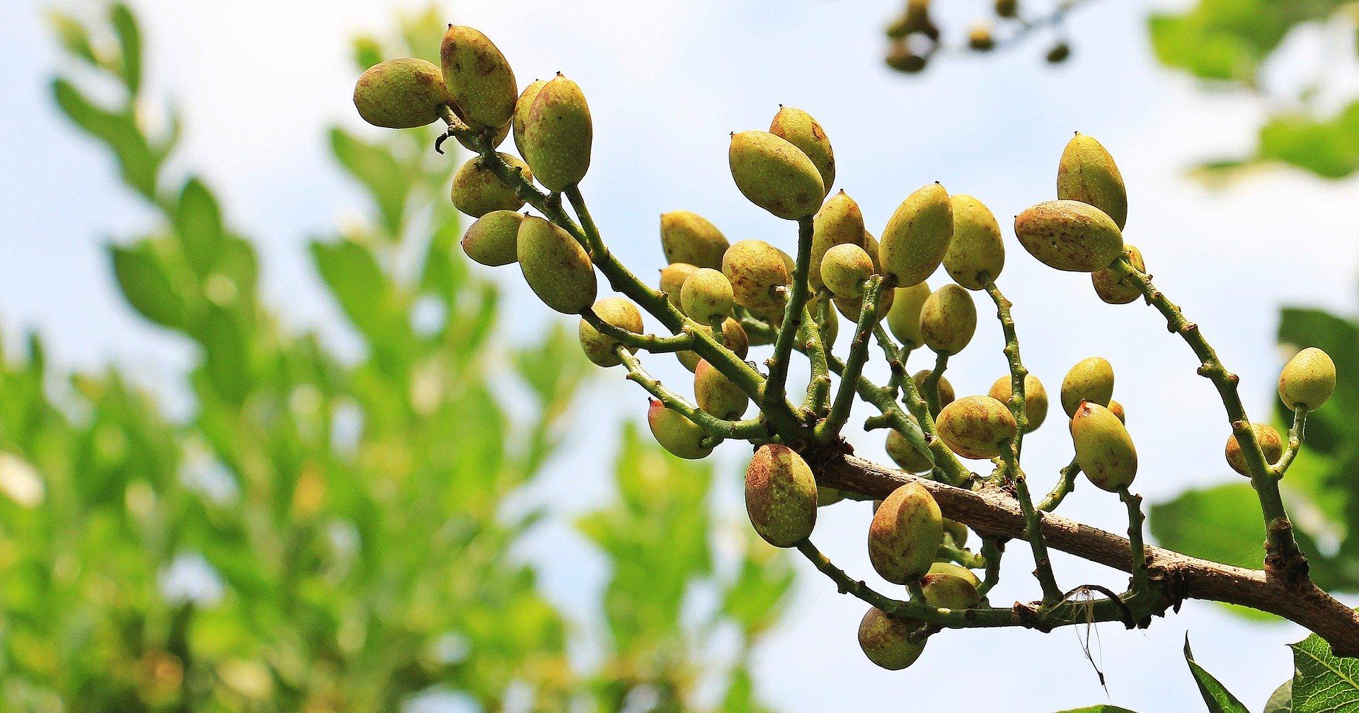 recoleccion pistacho maduracion pistacho